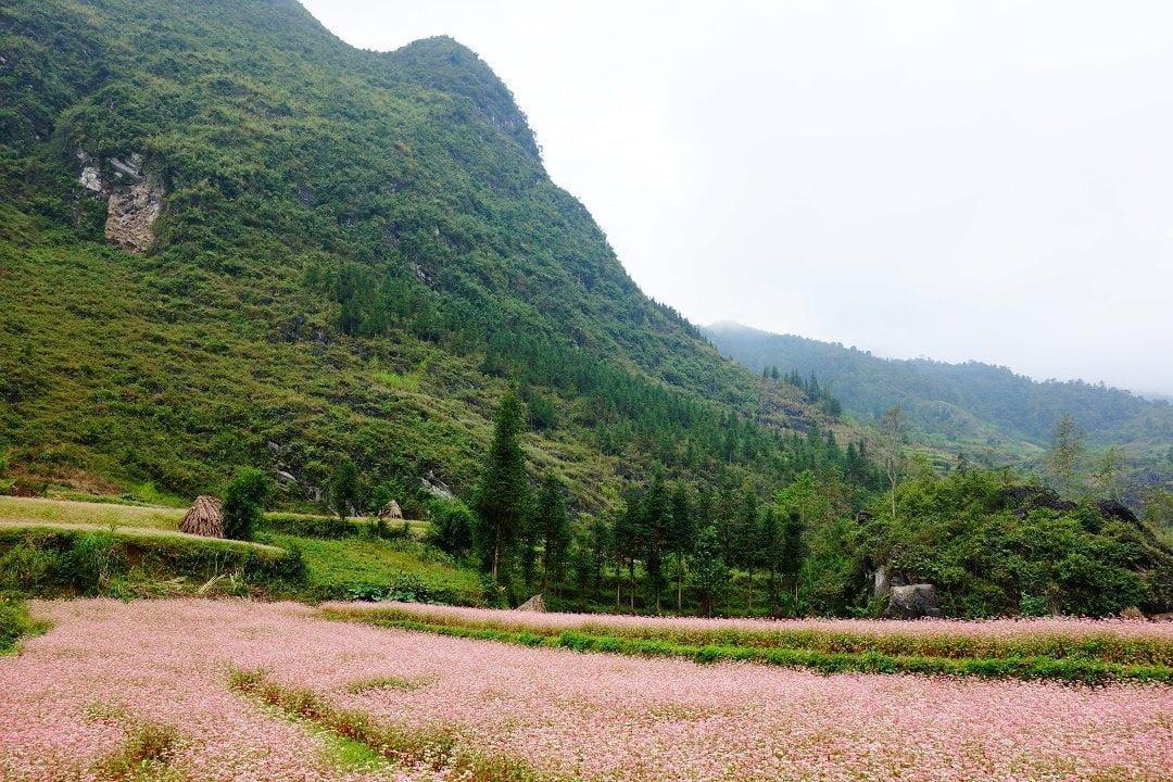 Flax field - Vietnam - Ha Giang Loop