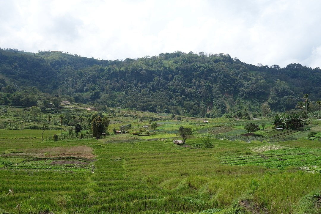 Rice field on the way back from Kelimutu national park, moni, flores, indonesia