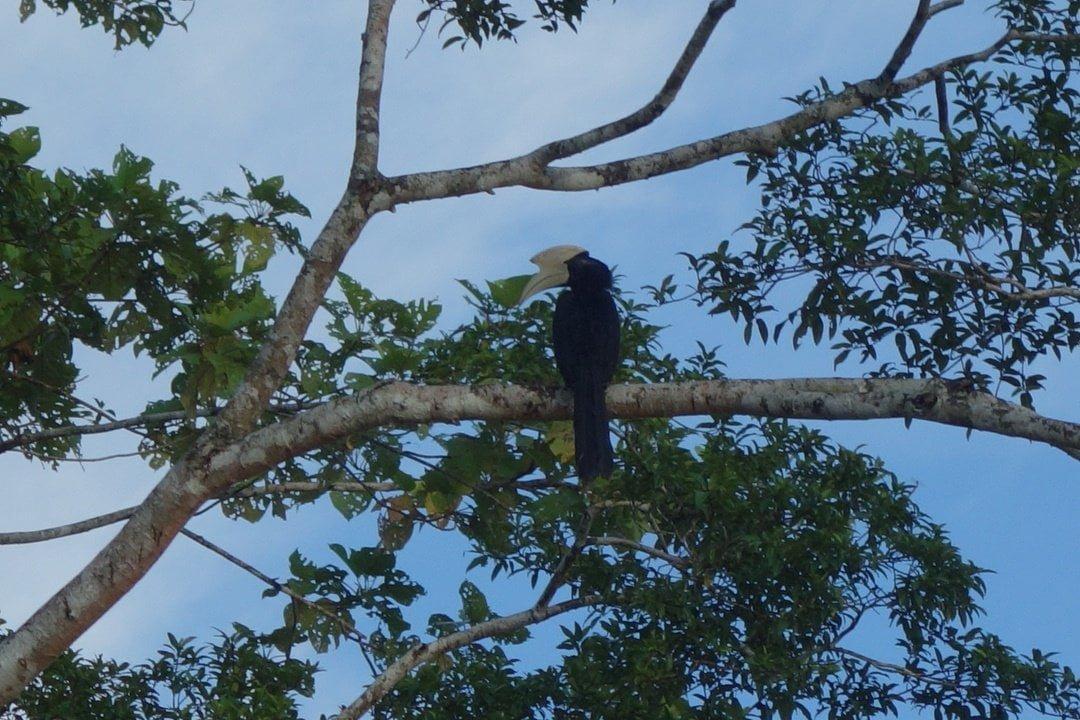 Hornbill, Borneo