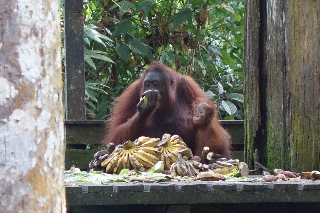Orang Outan, Borneo