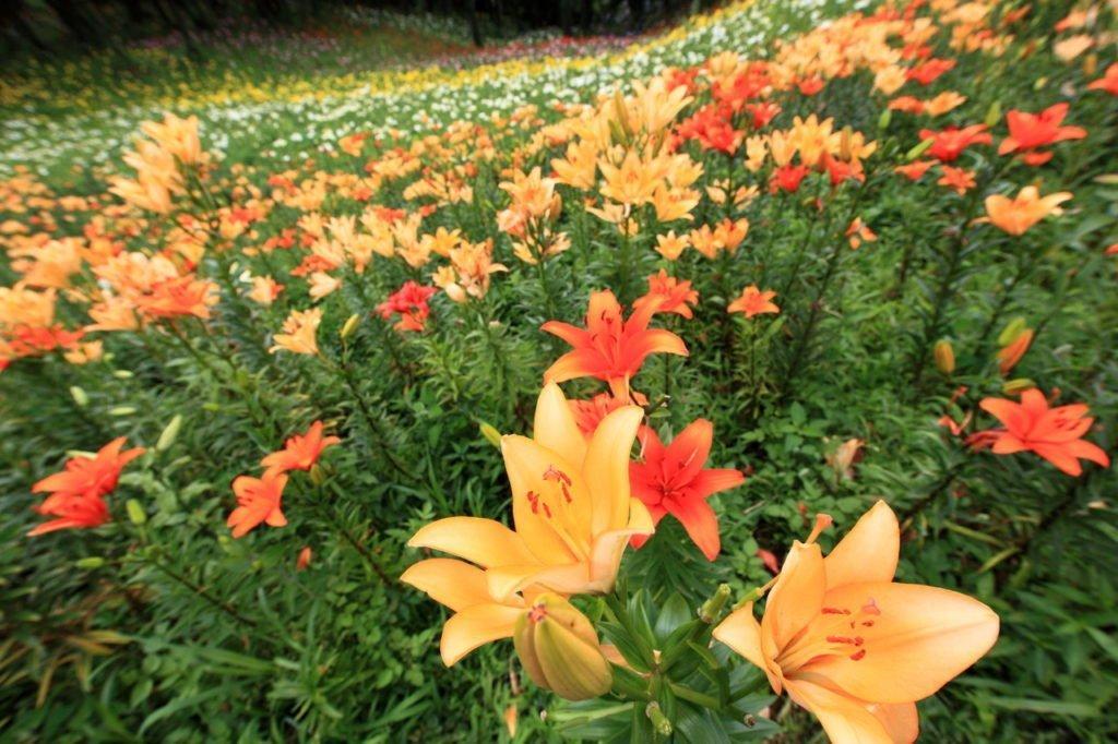 Daylilies flower field