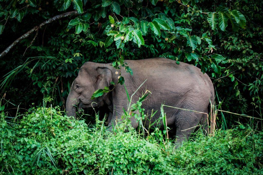Pygmy elephant, Borneo