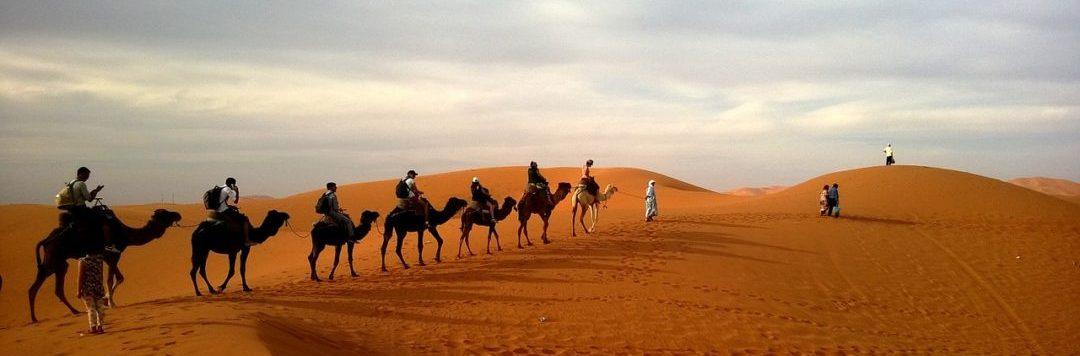Camels, Sahara