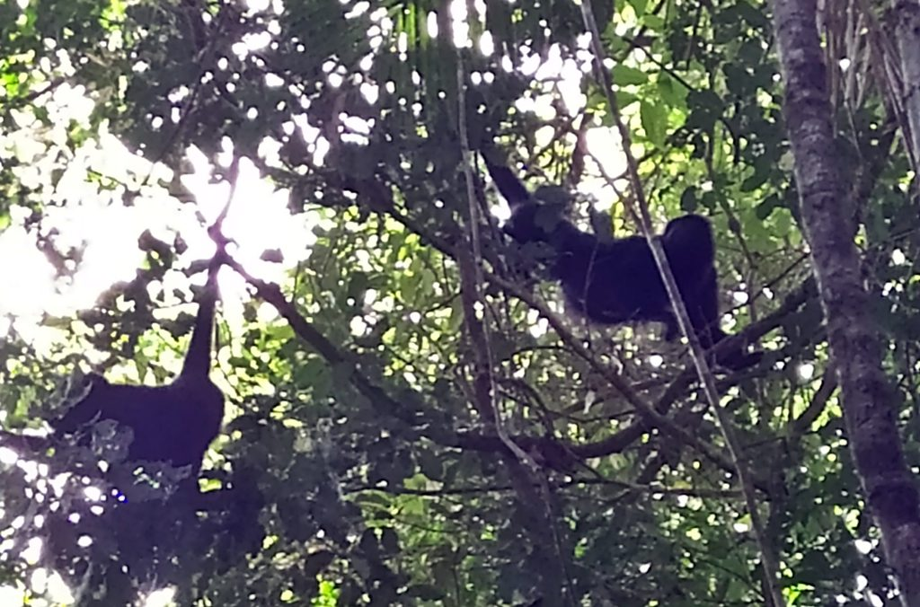 Howler Monkeys in Belize near Placencia