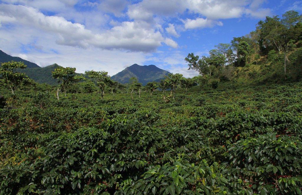 Coffee plantation in Guatemala