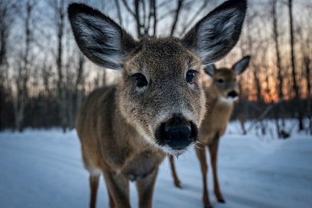 Wildlife, Canada in Winter