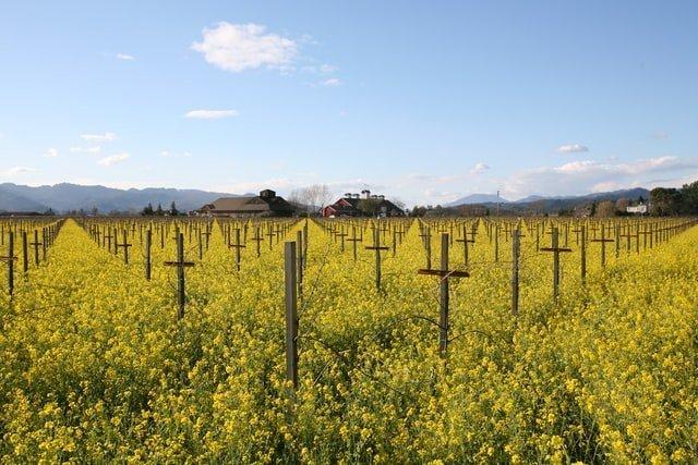 Mustard fields, Napa Valley, best US winter escapades